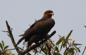 Yellow-billed Kites were everywhere!