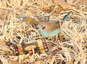 Some sort of a waxbill, but I know not what...