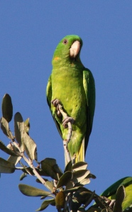 A Green Parakeet - we saw a flock with hundreds of these bright creatures in it.