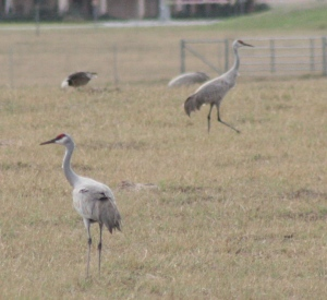 We passed this huge flock of Sandhill Cranes near Falfurrias as we left Mission.