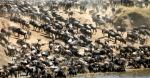 Africa-Kenya-Migration-3-wildebeest