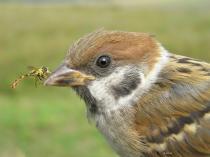 Tree_Sparrow