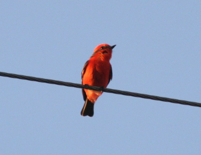 The Vermillion Flycatcher was keeping watch at the chapel.