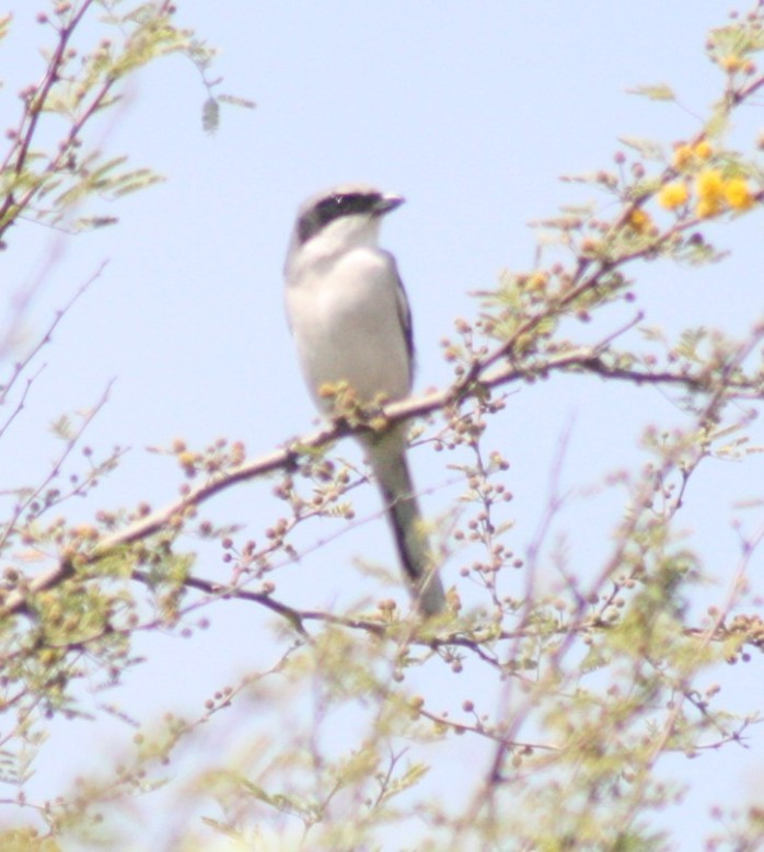 What's that? A loggerhead shrike right outside the window? Put down the drywall knife Dave, and grab the camera...