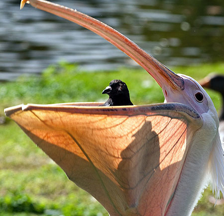 Image result for pelicans gullet