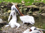 Pelican_feeding_young
