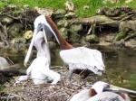 Pelican_feeding_young
