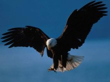 bald_eagle_hunting_by_Ilovevore1