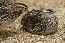 The Common Quail