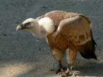 The Griffon Vulture, native to much of the Mediterranean region as well as southern Asia.