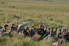 VulturesFeeding