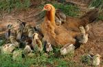 chicken-and-her-babies