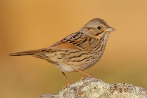 A Lincoln's Sparrow.  I know - this is sooooo much better than a House Sparrow, right?