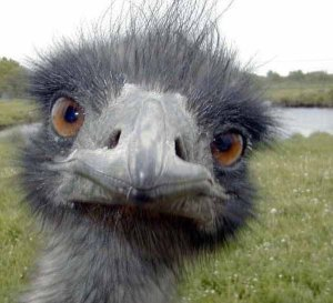 I've been told that this bird is in fact an EMU, not an ostrich.  I like it.  So sue me.