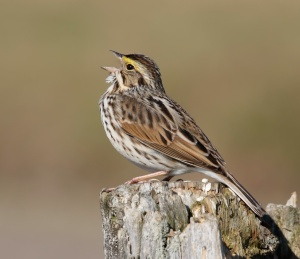 A Savannah Sparrow, whose song, heart, and breath matter to God.