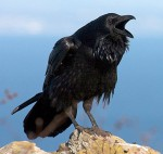 The Common Raven