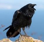 The Common Raven