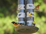 feederbirds