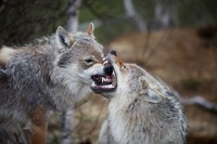 Wolves_in_Norway