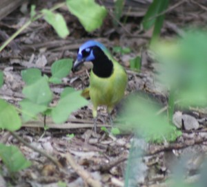 The Texas Green Jay
