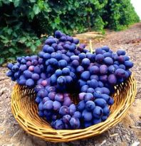 Bikurim-or-Bikkurim-Basket-of-grapes