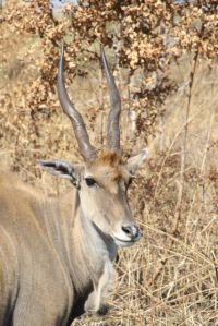 The Eland is Africa's largest antelope