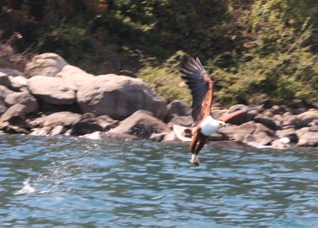 An African Fish Eagle takes his lunch before our eyes.