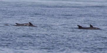 Yeah, we're pretty sure that these were dolphins.  Sure enough that we sent a few kids out to check them out, anyway...
