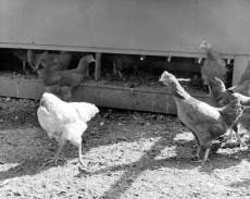 Mike patrols the barnyard with the flock in 1945