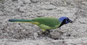 A Green Jay