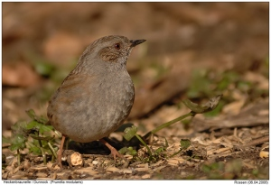 "A Dunnock, or Hedge Sparrow - a ""Little Brown Job"", or ""LBJ"" if ever there was one in the birding world!"