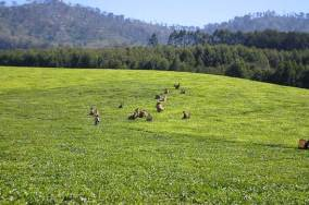 A tea plantation in Thyolo