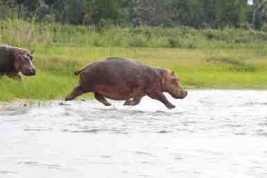 Have you ever seen a hippo jump? Look closely - none of this one's legs are touching the ground as he races into the Shire River.