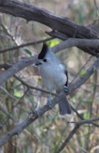 "We didn't see too many birds in the park today, but this black-crested titmouse stopped by to say ""hello""."