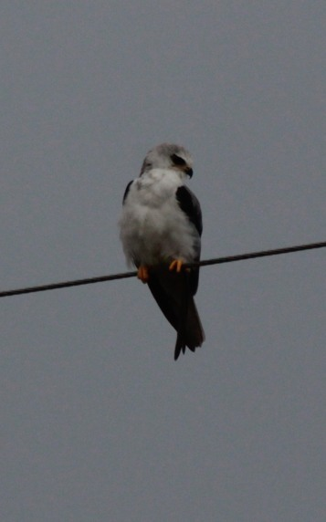 Look - it's a bird! One I've never seen before: A White Tailed Kite!