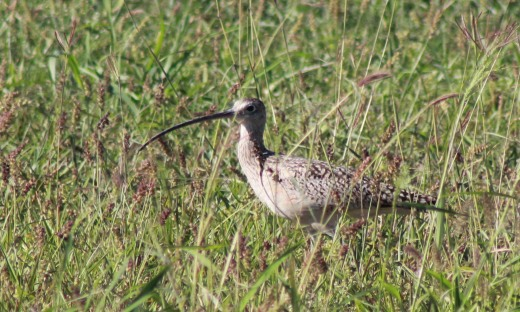 What? A Long-billed Curlew stopped by the vacant lot next door? Who knew?